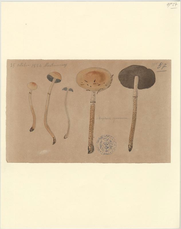 Psilocybe écailleux ; champignon_0