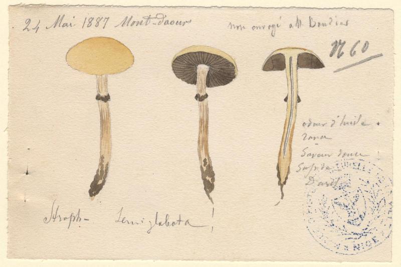 Strophaire hémisphérique ; champignon_0