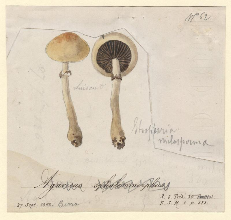 Agaric changeant ; champignon_0
