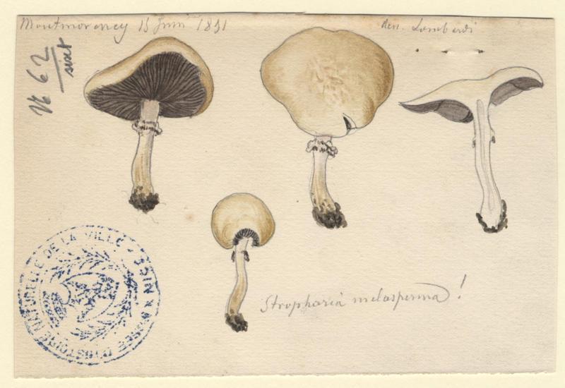 Strophaire à lames noires ; champignon_0