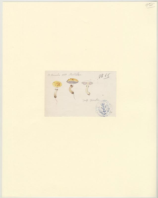 Strophaire coronille ; Strophaire à petite couronne ; champignon