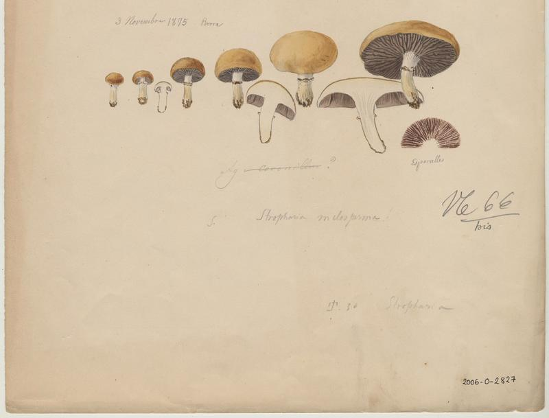 Strophaire coronille ; Strophaire à petite couronne ; champignon_0