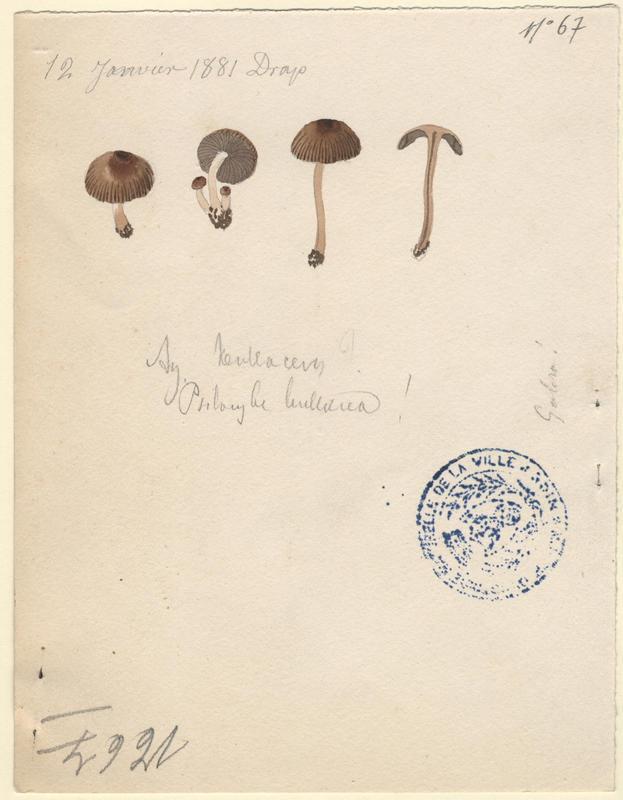Agaric bulleux ; champignon