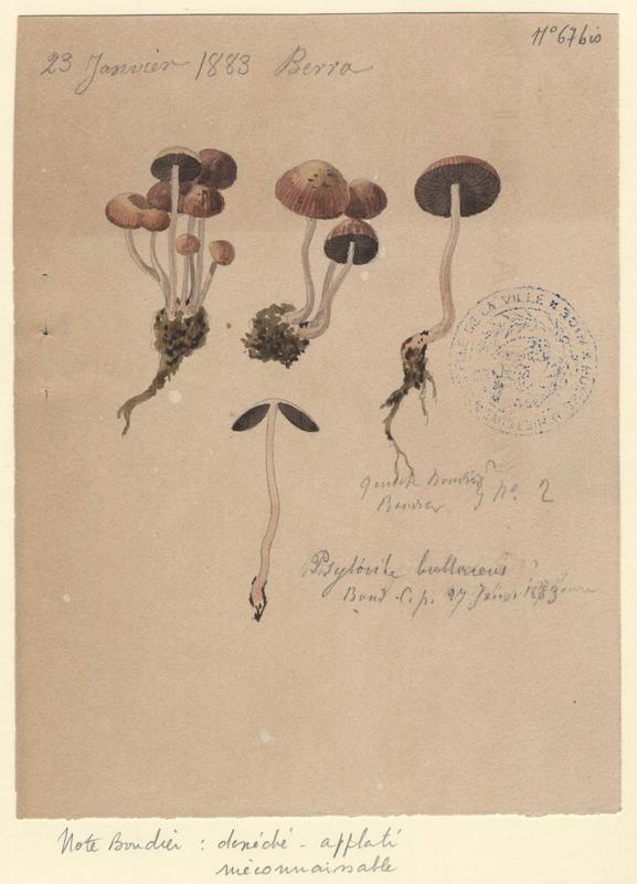 Agaric bulleux ; champignon_0