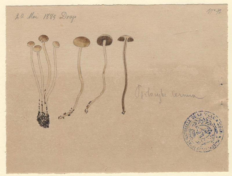 Psilocybe ; champignon_0