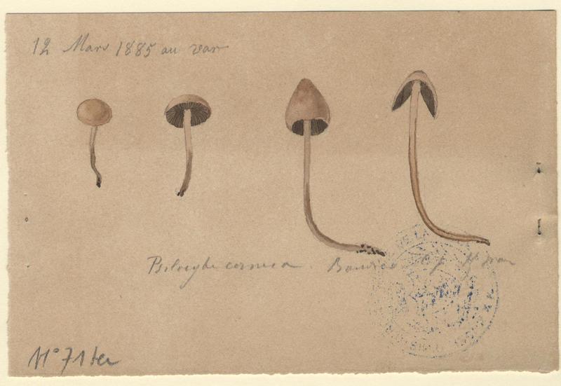 Psilocybe ; champignon