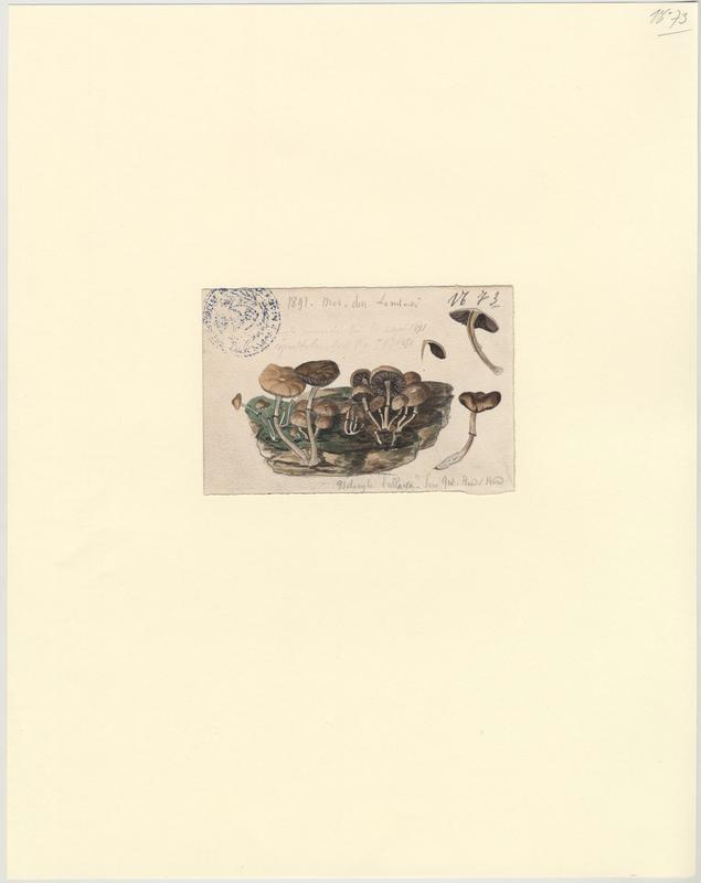 Psilocybe bulleux  (?) ; champignon