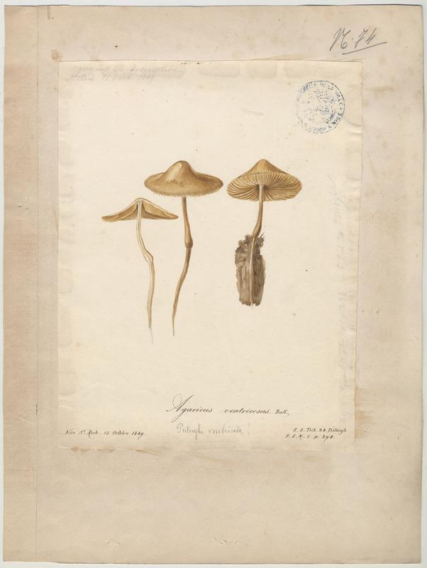 Agaric ventru ; champignon