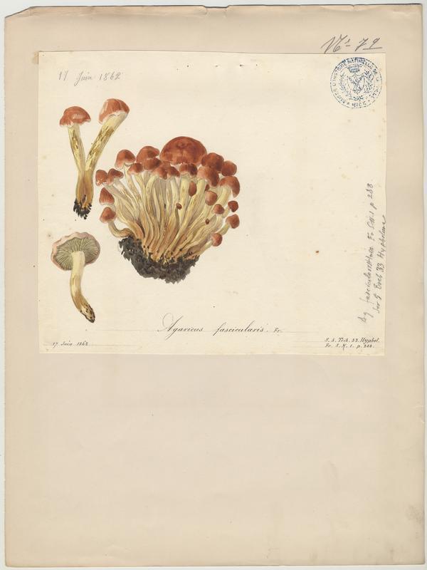 Hypholome en touffes ; Hypholome fasciculé ; champignon_0