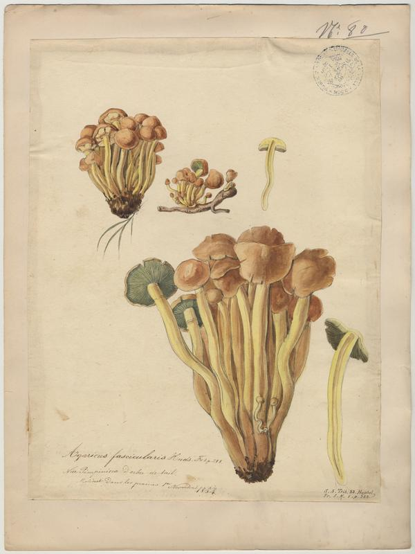 Agaric ; Blattagna ; champignon