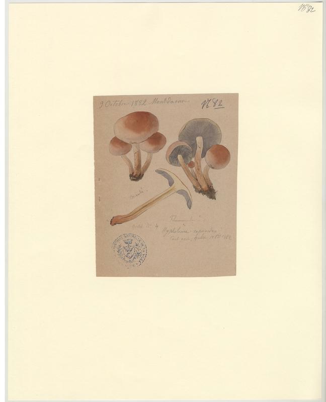Hypholome à lames enfumées ; Hypholome doux ; champignon