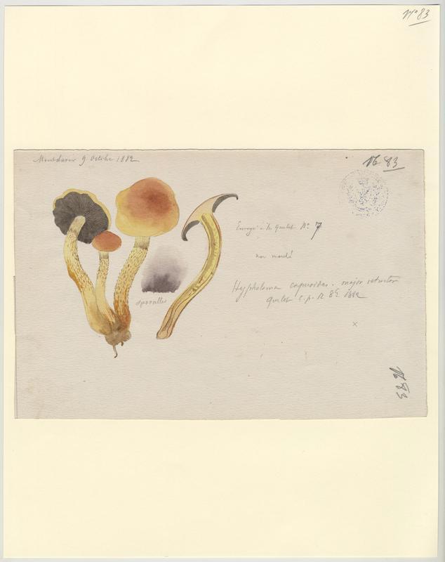 Hypholome à lames enfumées ; Hypholome doux ; champignon_0