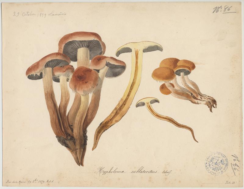 Hypholome couleur de briques ; champignon_0