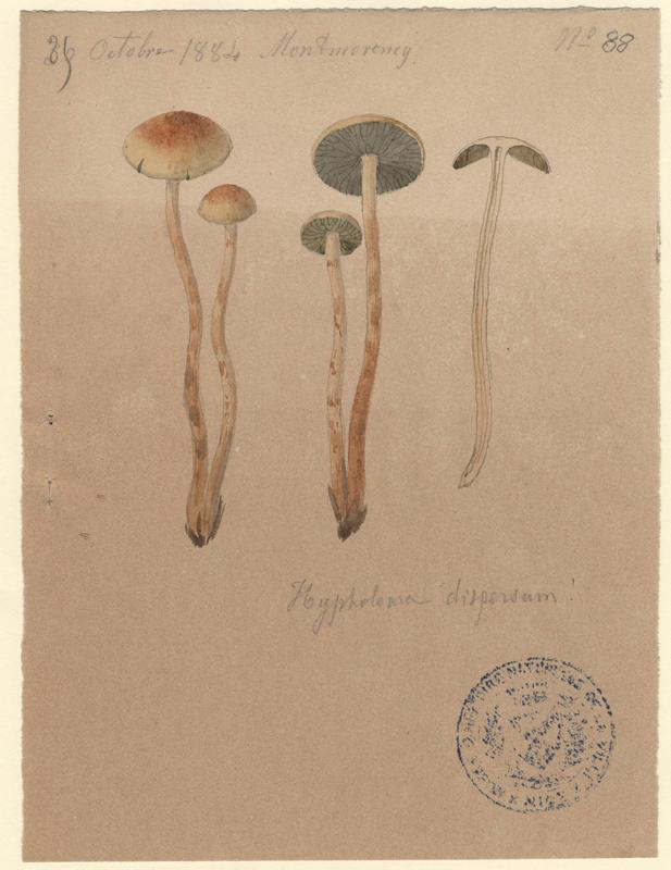 Hypholome disséminé ; Hypholome cortiné ; Psilocybe marginé ; champignon