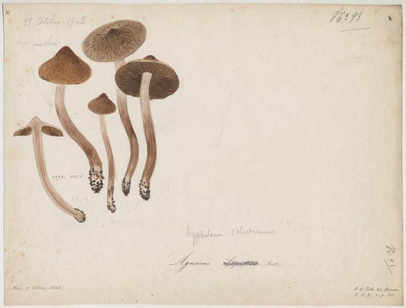 Cortinaire à pied brun noir ; Cortinaire des aulnes ; champignon