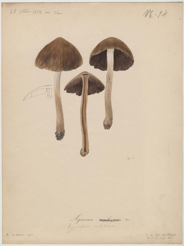 Plutée brun d'ombre ; champignon