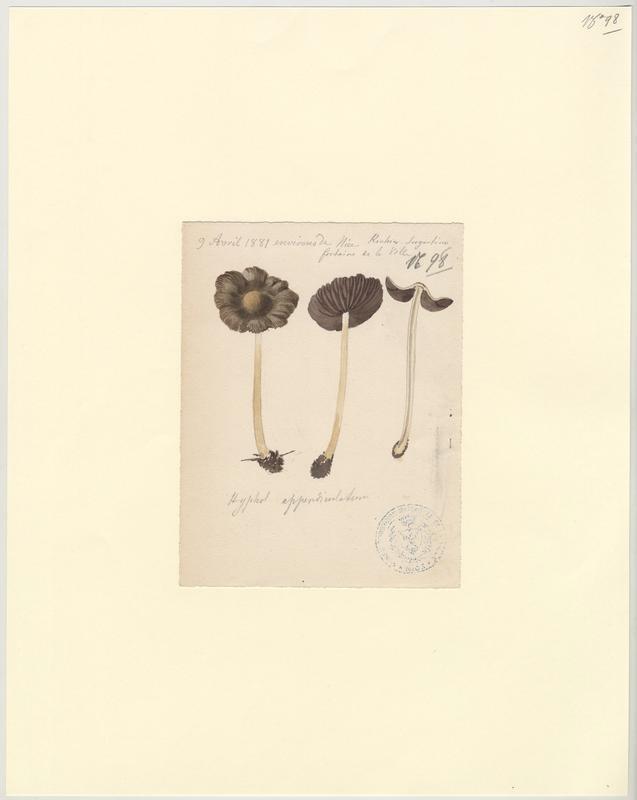 Hypholome  ; champignon_0
