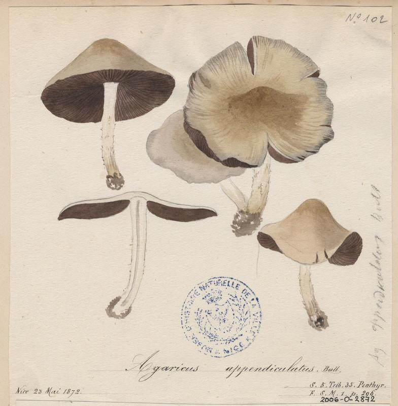 Psathyrelle de Candolle ; champignon_0