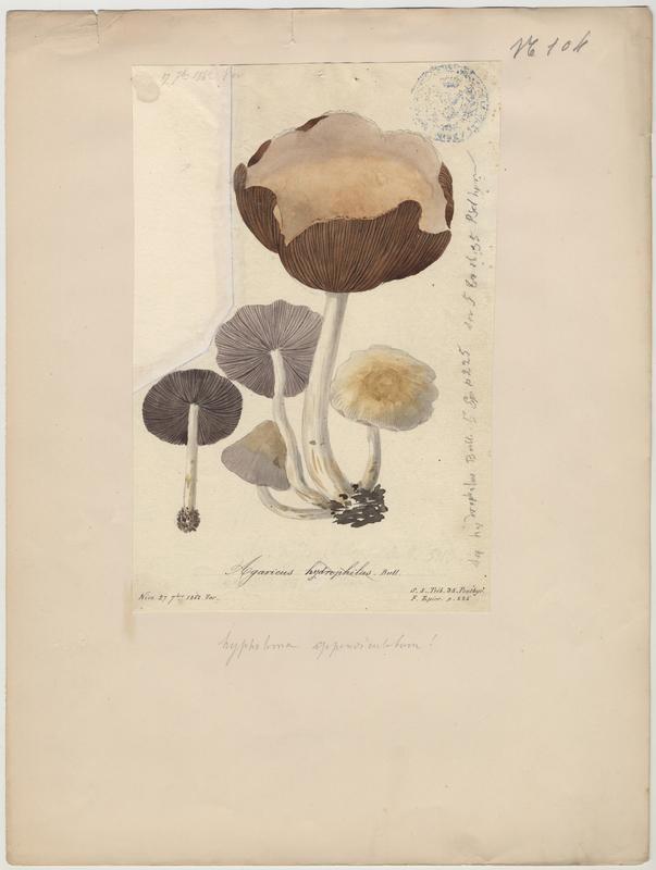 Psathyrelle hydrophile ; champignon_0