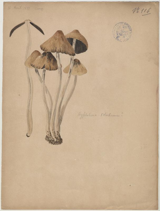 Hypholome  velouté (?) ; champignon_0