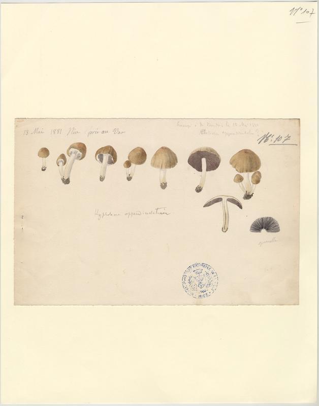 Hypholome ; champignon