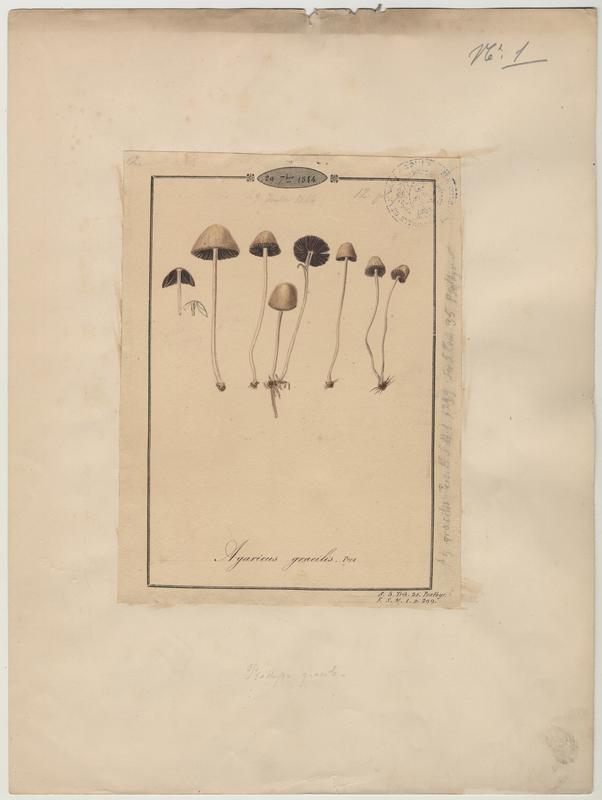 Agaric grêle ; Psathyrelle gracile ; champignon_0