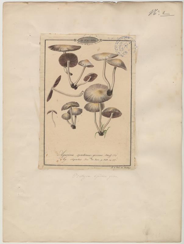 Agaric brun gris (?) ; champignon_0