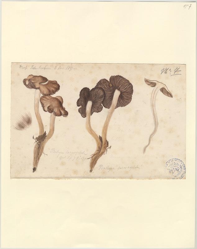 Psathyrelle ; champignon_0