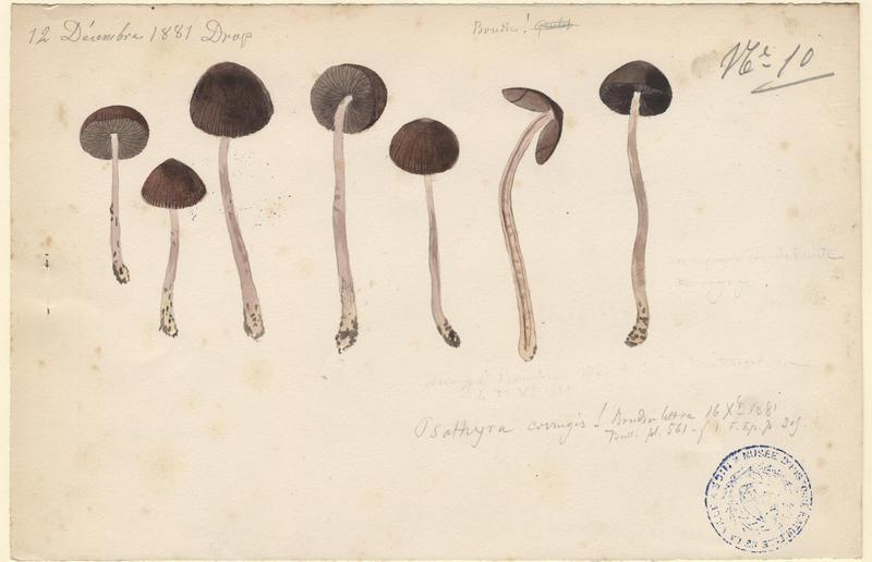 Psathyrelle ridée ; Psathyrelle gracile ;  champignon