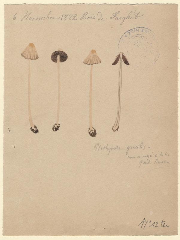 Psathyrelle ridée ; Psathyrelle gracile ; champignon_0