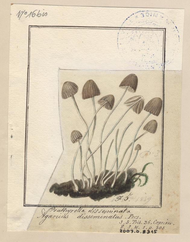 Coprin grégaire ; Coprin disséminé ; champignon_0