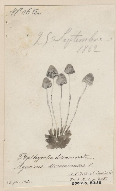 Coprin grégaire ; Coprin disséminé ; champignon