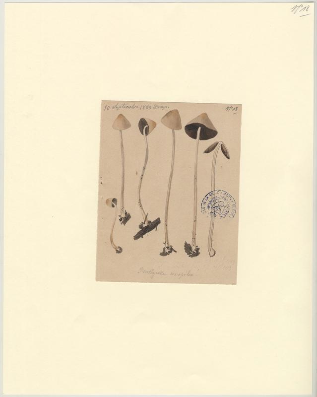 Psathyrelle conique ; champignon_0