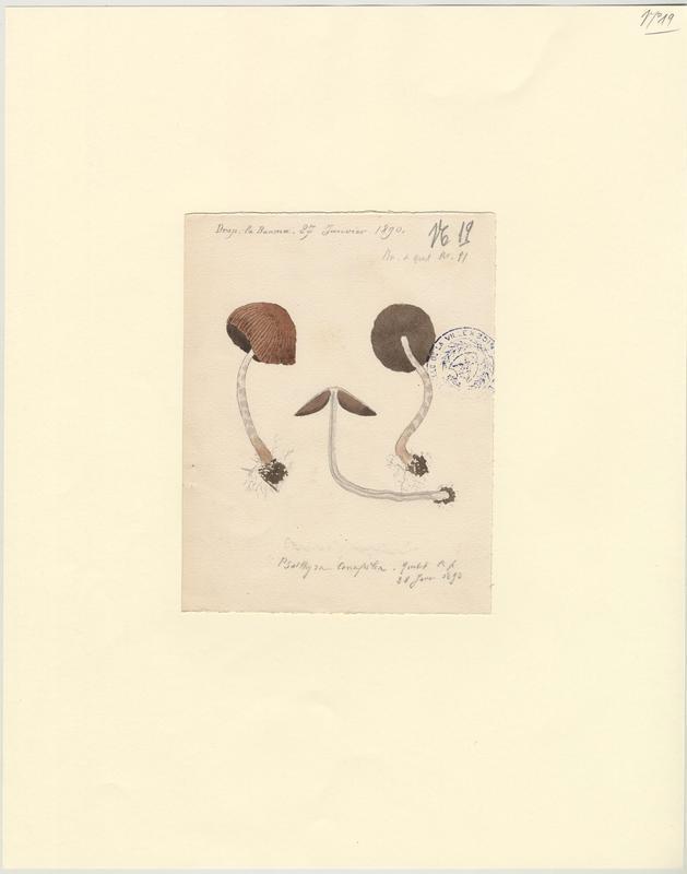 Psathyrelle conique ; champignon