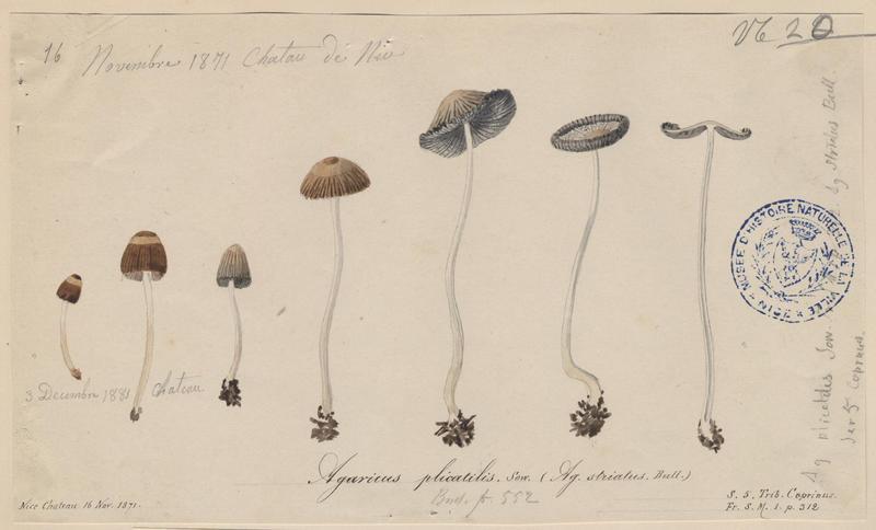 Agaric plissé (?) ; champignon_0