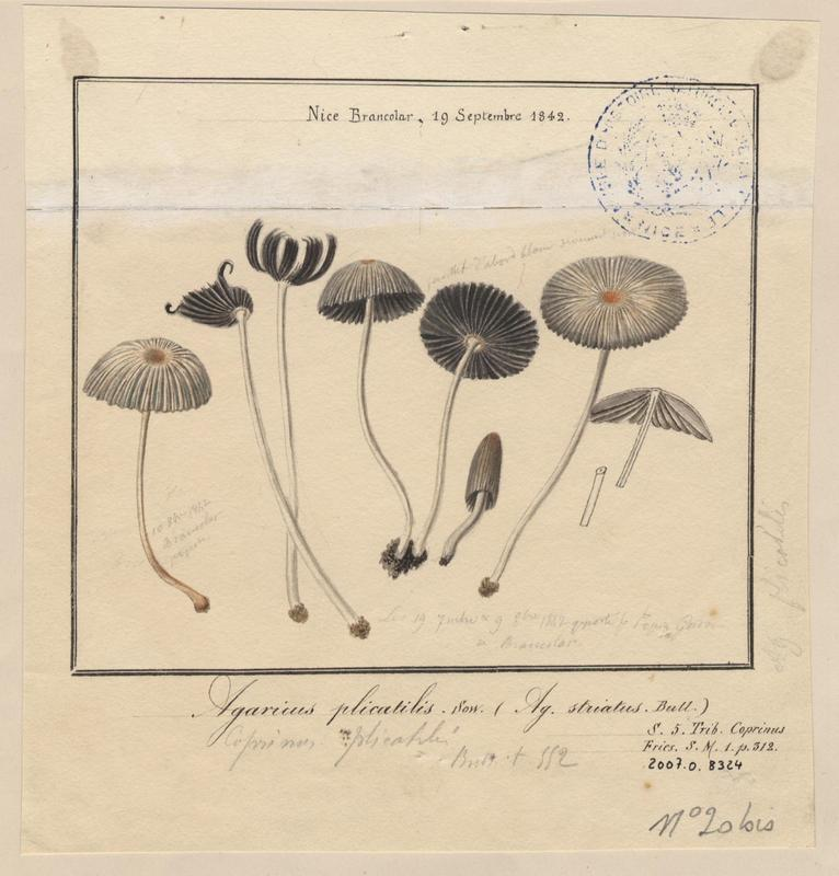 Agaric plissé (?) ; champignon