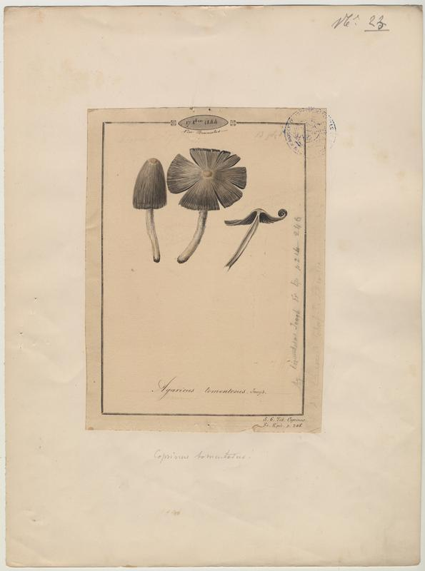 Agaric drapé ; Agaric tomenteux (?) ; champignon_0