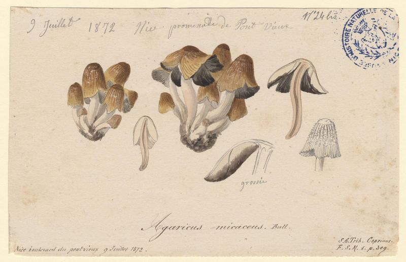 Coprin micacé ; champignon