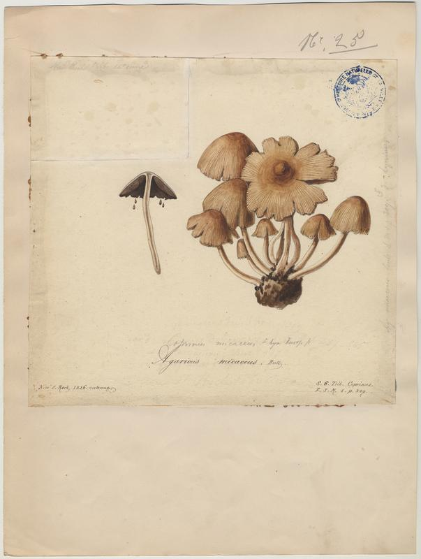 Coprin micacé ; champignon_0