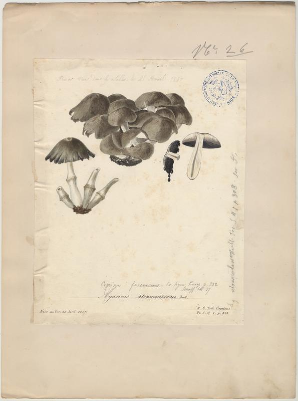 Coprin noir d'encre ; champignon_0