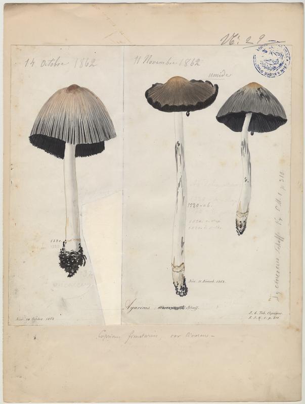 Coprin cendré ; champignon