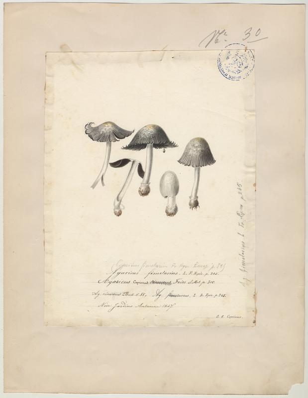Coprin cendré (?) ; champignon_0