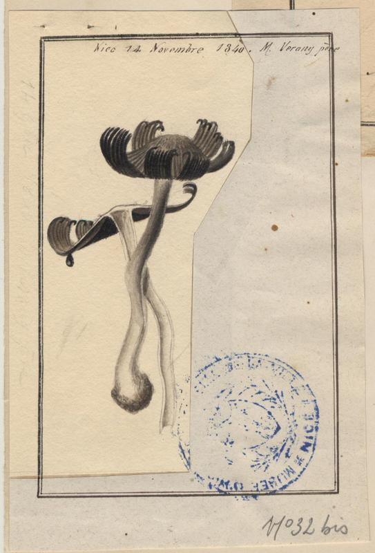 Coprin chevelu ; champignon_0