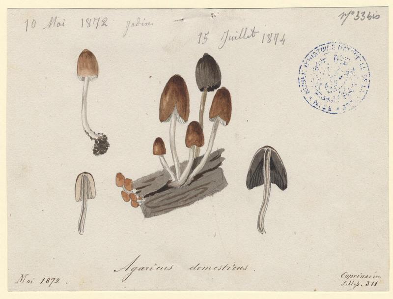 Coprin domestique ; champignon