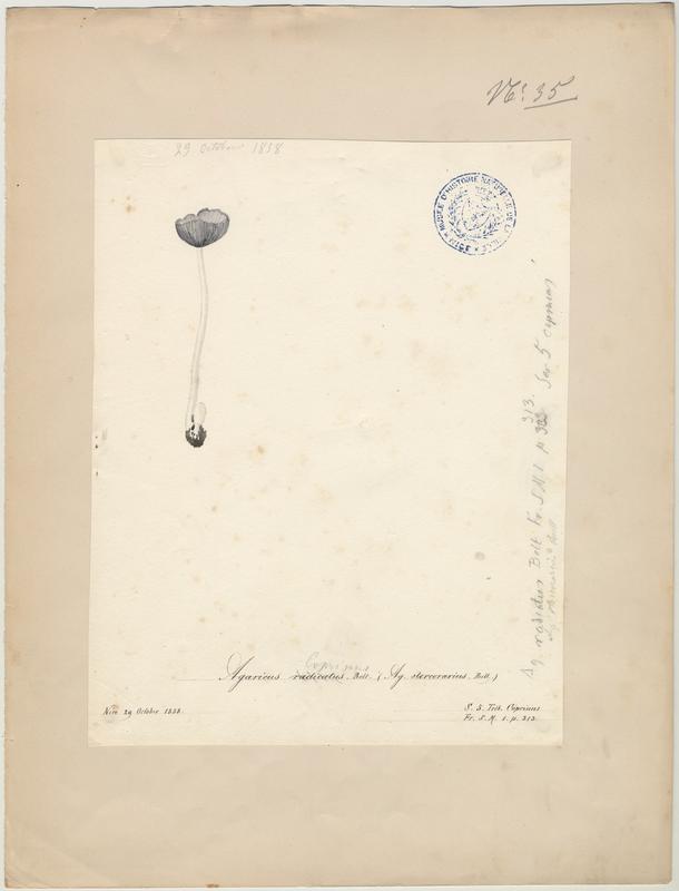 Agaric des robiniers ; Agaric radicant ; champignon
