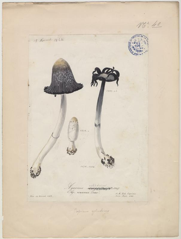 Agaric blanc perle (?) ; champignon_0
