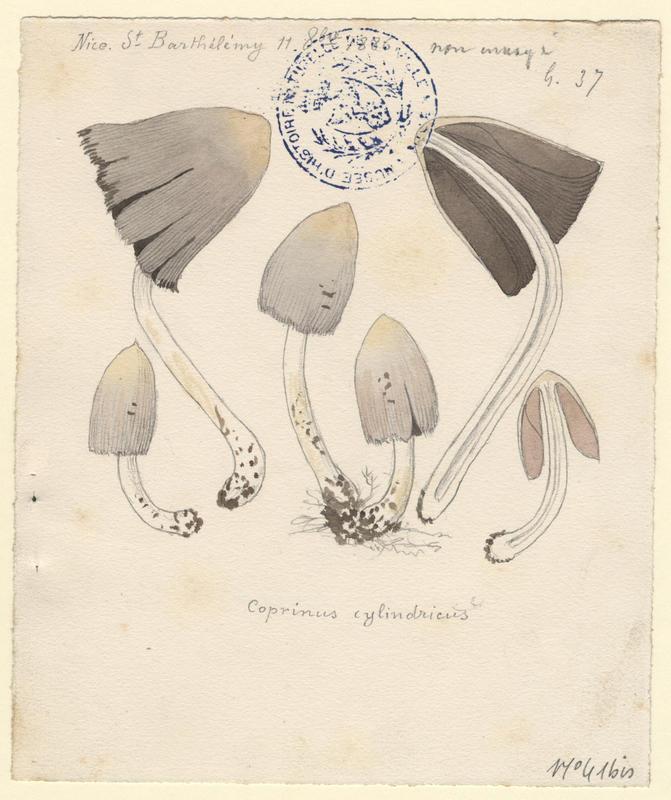 Coprin chevelu ; champignon