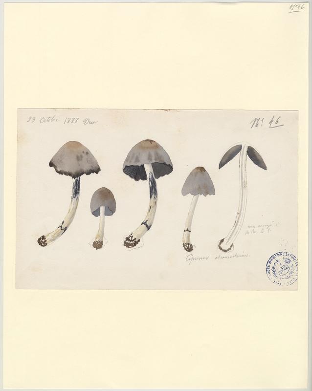 Coprin noir d'encre ; champignon