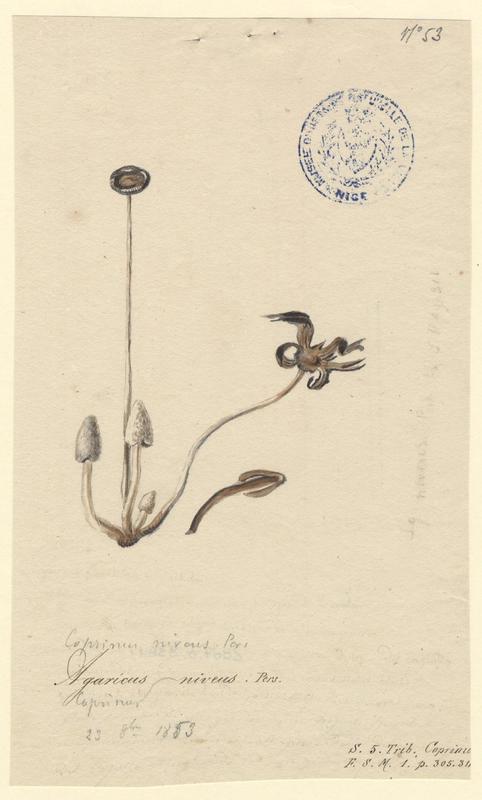Agaric blanc de neige ; champignon