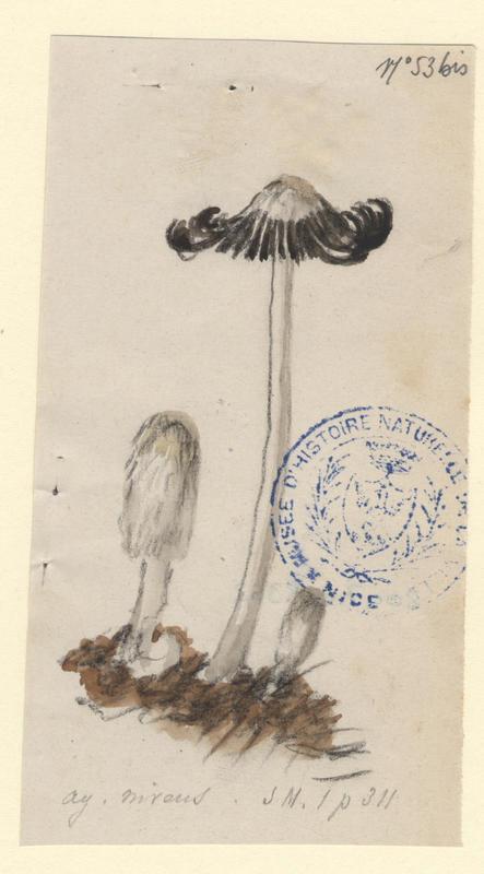 Agaric blanc de neige ; champignon_0